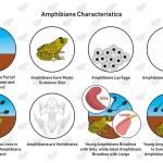 Amphibians Characteristics infographic diagram inc...