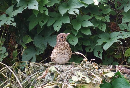 Young bird thrush a fieldfare among leaves