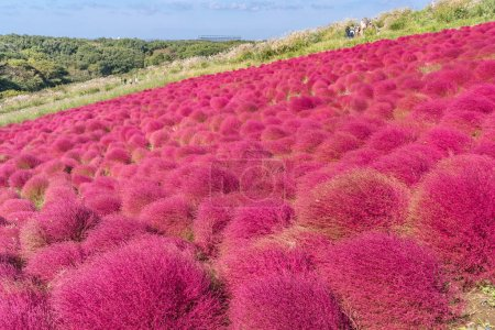 Photo pour Kochia et cosmos buisson avec montagne paysage, à Hitachi Seaside Park en automne avec ciel bleu à Ibaraki, Japon - image libre de droit