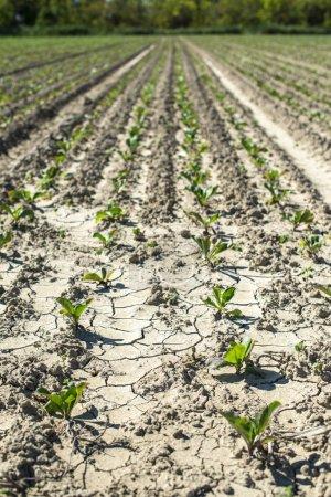 Foto de Plantación de remolacha azucarera en fila. Crecimiento de remolacha azucarera . - Imagen libre de derechos