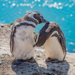 Magellanic penguins guarding their nest, peninsula...