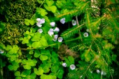 White Oxalis in the Russian forest, green background, fur tree, cones, soft-focus, blur, moire.