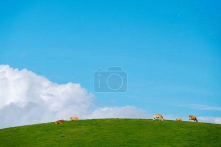 Photo pour Paysage de collines de la campagne avec terrain avec gazon et vaches dans une ferme laitière sur belle journée ensoleillée. Ciel bleu comme toile de fond - image libre de droit