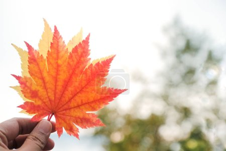 Photo pour Automne et automne saison Concept, agrandi de main Raise up Maple Leaves - image libre de droit