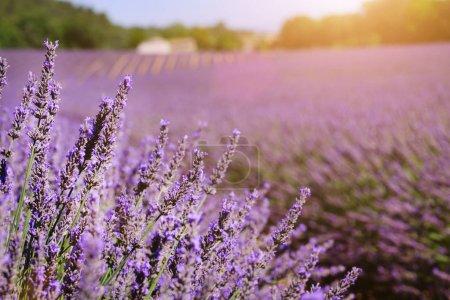 Photo pour Champ de lavande en été. Fleurs dans les champs de lavande dans les montagnes de Provence. - image libre de droit