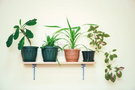 Photo for House plants grow in pots on a shelf fixed to a light wall. - Royalty Free Image