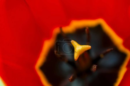 Photo for Vivid opened red tulip in macro. Picturesque background of beautiful red and yellow flower. View from above. Pestle and stamen close up. - Royalty Free Image