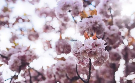 Photo for Macro pink blossom cherry tree in spring garden, sakura tree on background closeup, beautiful romantic flowers for card clean space for text, blooming flora outdoor springtime concept - Royalty Free Image