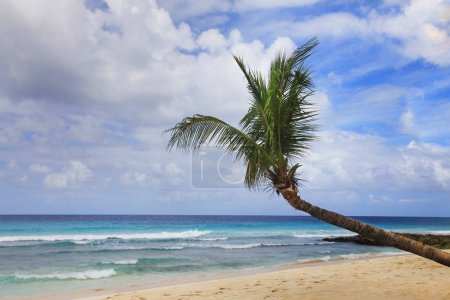 Photo for Tropical beach with a palm tree in Barbados - Royalty Free Image