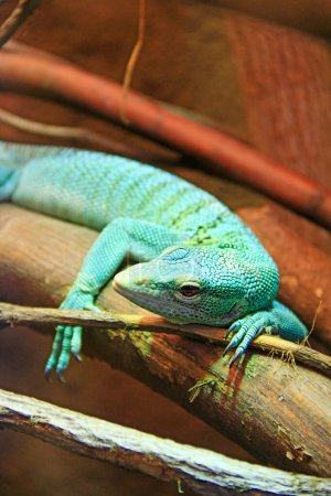 Green lizard lying on wooden branch in zoo. green ...
