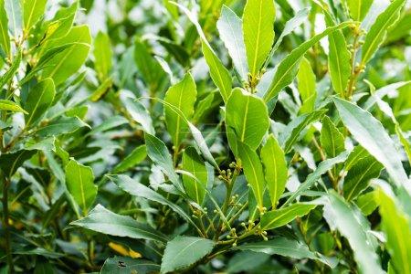 laurel laurus nobilis lauraceae leaf close up green
