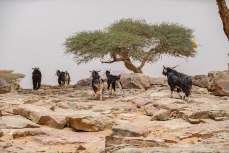 Photo for Herd of goats,travel place on background - Royalty Free Image
