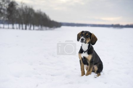 Small cute harrier puppy sitting outdoors on snow in Swedish nature and winter landscape. Nice beautiful portrait of young little dog.