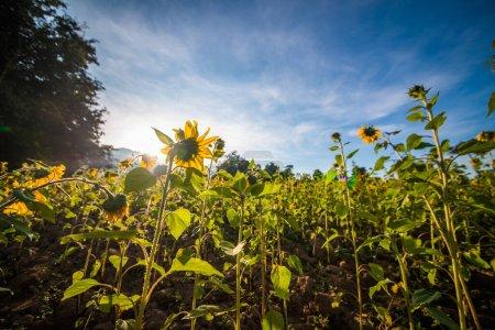 Photo pour Champ de tournesols en fleurs en plein soleil - image libre de droit