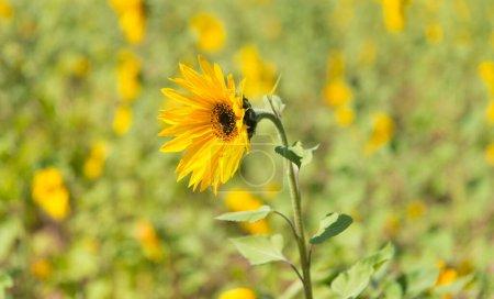 Photo pour Fleur jaune fleurissant au champ en plein soleil - image libre de droit