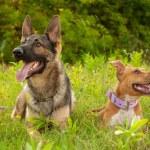 Portrait of a beautiful German Shepherd dog and an...