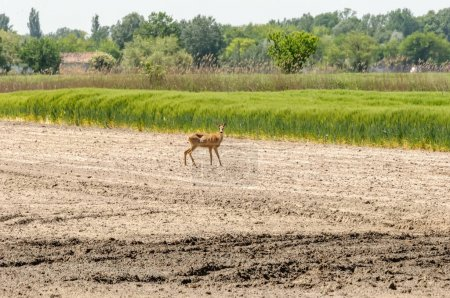 View on a roe deer on a field on a sunny day....