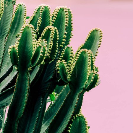 Plants on pink concept. Cactus on pink wall background.  Cacti fashion mood