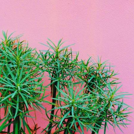 Photo pour Plantes sur le concept de mode rose. Plante tropicale sur fond mural rose - image libre de droit