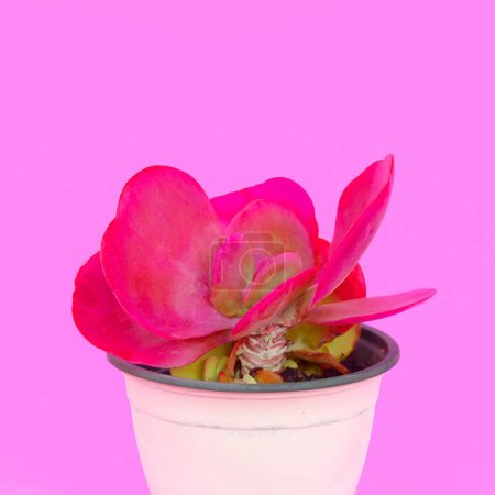 Photo for Cacti in pot. Cactus design fashion plants on pink concept - Royalty Free Image