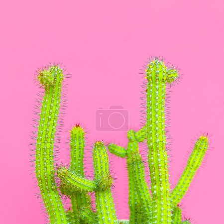 Photo for Cacti. Cactus design fashion creative concept. Plants on pink art - Royalty Free Image