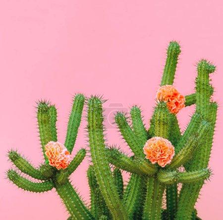 Photo pour Décor de cactus et roses. plantes sur concept rose - image libre de droit