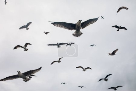 Large group of seagulls flying in sky. Nature background