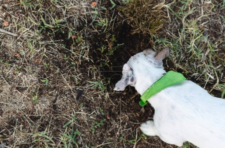 Above of jack russel digging dog hole in backyard, outdoors