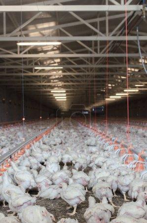 Lot of chickens feeding on farm, chicken factory.