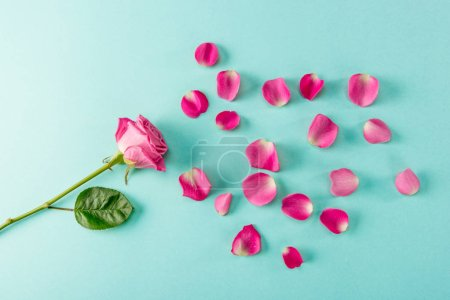 Top view of beautiful pink rose flower with petals on blue