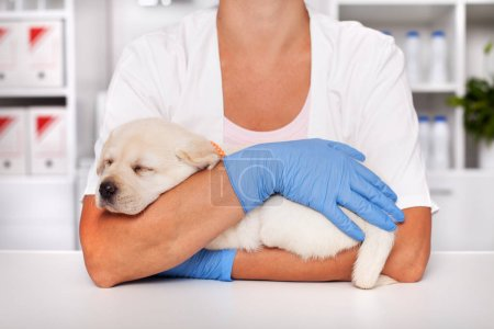 Photo for Adorable labrador puppy dog sleeping in the arms of veterinary care professional - closeup - Royalty Free Image