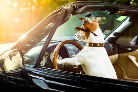 Photo for Jack russell dog in a car close to the steering wheel, ready to drive fast and save , with seat belt fastened - Royalty Free Image