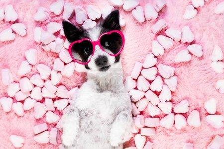Photo pour Chien vous regardant et vous fixant, tout en étant couché sur le lit avec des valentines rose dans la bouche, amoureux, guimauves comme fond - image libre de droit