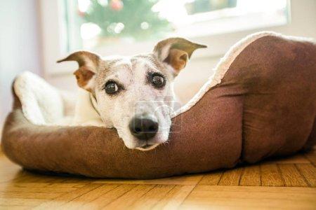 Photo pour Jack Russell terrier chien sous la couverture ou des draps dans le lit, ayant une sieste et de détente - image libre de droit