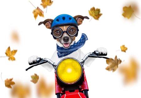 Photo pour Moto jack russell chien conduisant une moto avec des lunettes de soleil isolées sur fond blanc à l'automne venteux avec des feuilles volant autour - image libre de droit