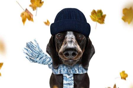 Photo pour Saucisse teckel chien attendant que le propriétaire joue et se promène en laisse, isolé sur fond blanc en automne ou en automne avec des feuilles et du vent - image libre de droit