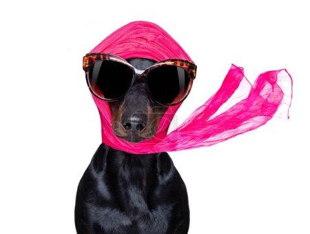chic à la mode diva luxe chien cool avec des lunettes de soleil drôles, écharpe et collier, isolé sur fond blanc