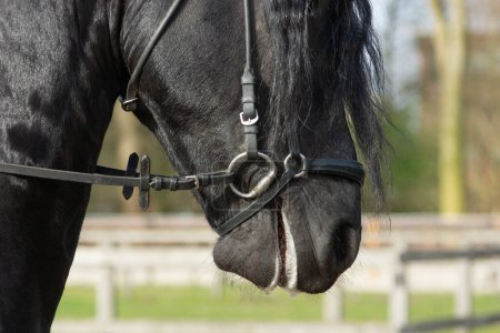 Photo for A Detail of the special dressage breed Friesian Horse in black with shiny fur riding in a paddock - Royalty Free Image