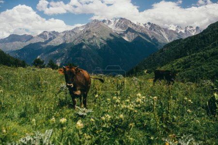 gony cows highly in mountains