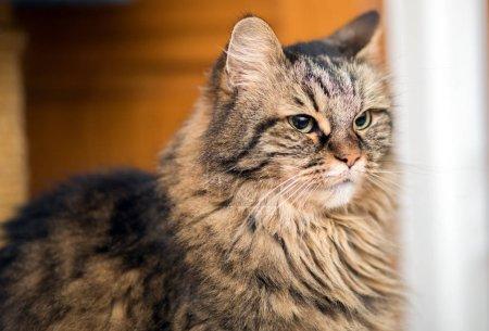 Photo pour Portrait de chaton mignon maine coon - image libre de droit