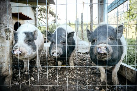 Vietnamesische Schweine, vietnamesische Topfbäuche
