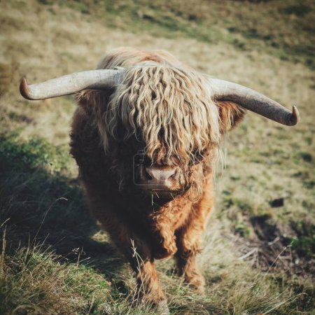 cute Highlandcattle Bull on nature
