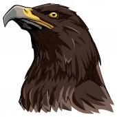 Golden Eagle on White