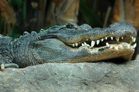 Nile crocodile or Crocodylus niloticus, close-up head showing ferocious teeth and focused eyes, dangerous African apex predator living near aquatic environments such as lakes, swamps and marshlands
