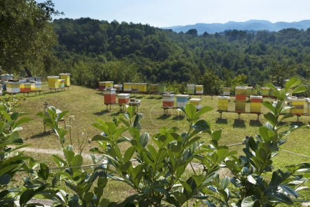 Green bushes of laurel leaves in the sunlight against the background of a bee apiary on a lawn in the forest and mountains
