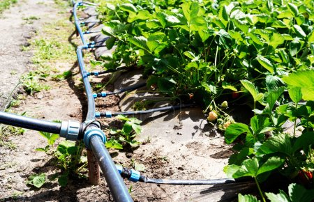 Drip irrigation system on strawberry filed in farm, close up. Strawberry bushes with green leaves growing in garden, copy space. Natural background. Agriculture, healthy food concept