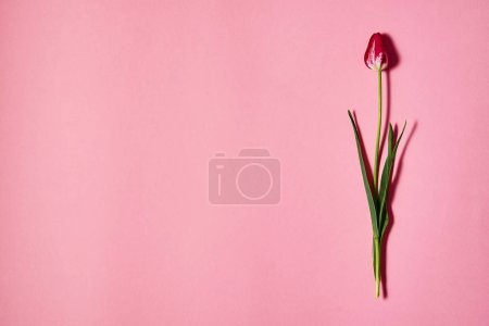 Photo for One tulip flower on pink pastel paper background, copy space. Flat lay, top view. Minimal concept. Holiday greeting card for Womens Day, Mothers Day, Easter - Royalty Free Image