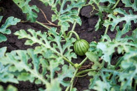 Pequeña sandía verde creciendo en el campo orgánico, espacio de copia. Agr.