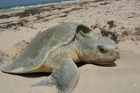 Foto de Turtle resting on sand Shore - Imagen libre de derechos