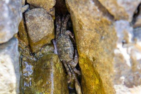 Photo pour Petite peau de crabe de mer dans les pierres, Croatie - image libre de droit